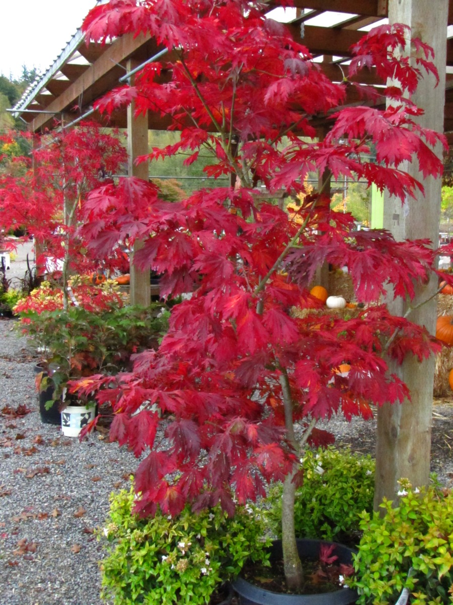 Fernleaf Full Moon Maple (Acer japonicum 'Aconitifolium ... |Full Moon Maple Leaf