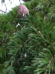 Himalayan Cedar Cone