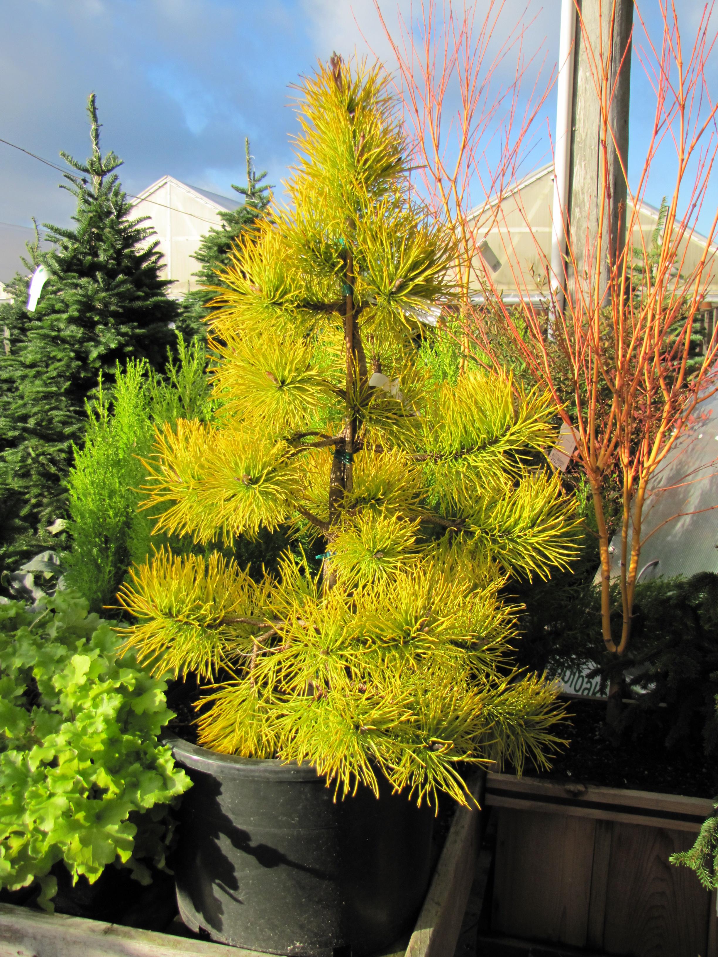 Pinus Contorta V Latifolia Chief Joseph Rainyleaf