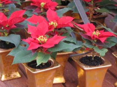 Tiny Poinsettias