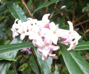 Daphne, the Lilac of Winter