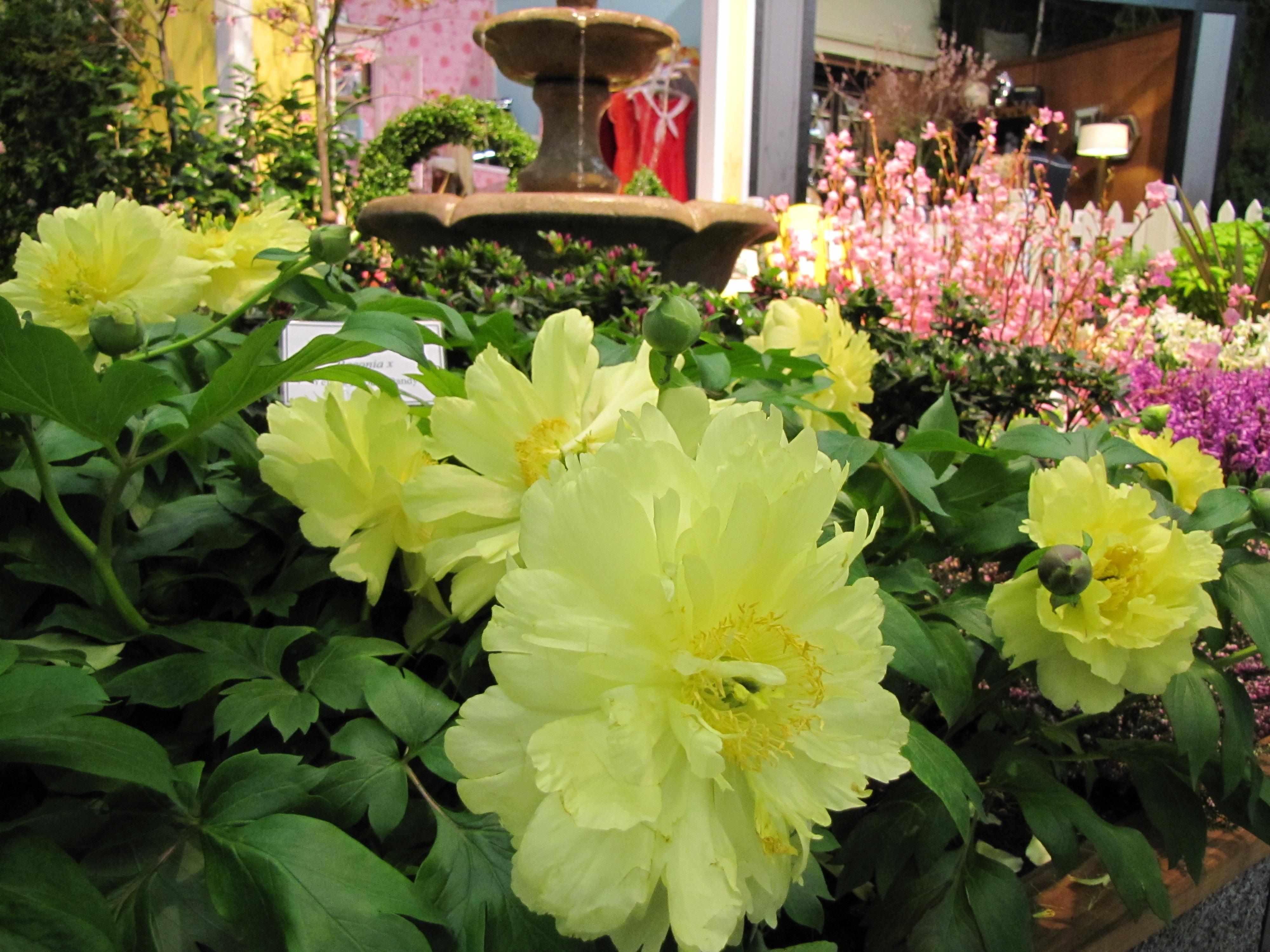 Northwest flower and garden show peony rainyleaf - Northwest flower and garden show ...
