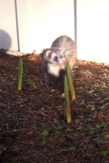 Ferret in the Garden