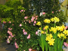 Roses and Daffodils
