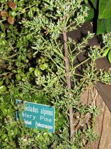 Celery Pine