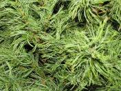 Pinus parviflora?