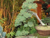 Bonsai Cypress