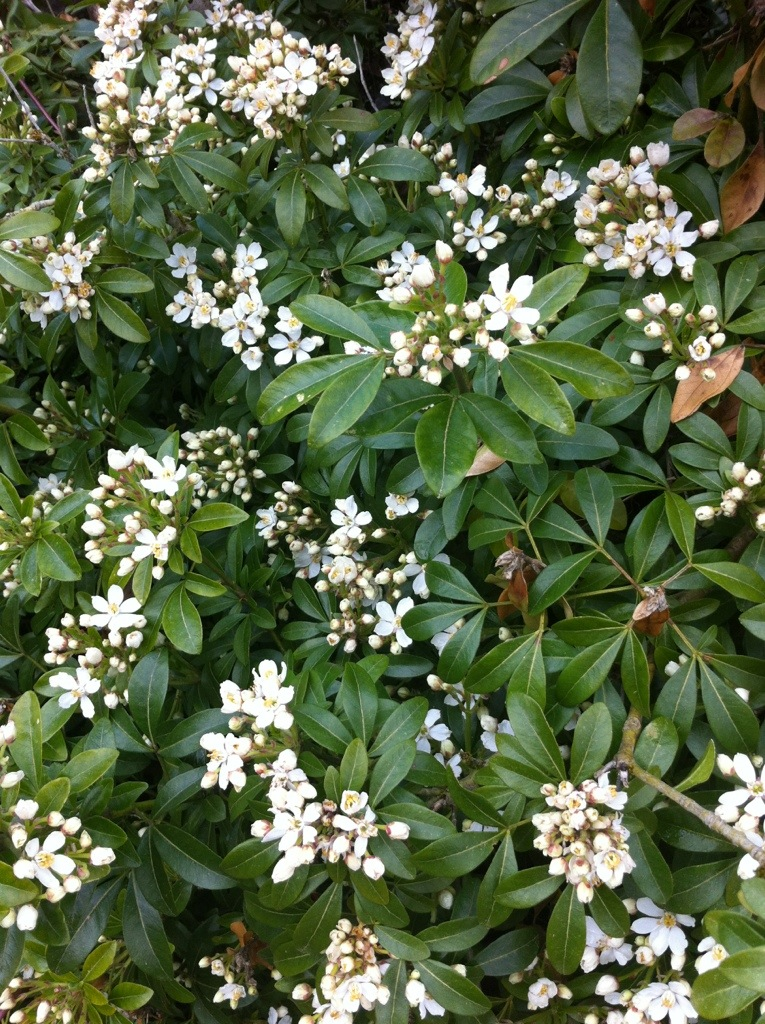 Spring flowering shrubs rainyleaf for White flowering bush