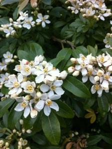 Choisya Spring Bloom