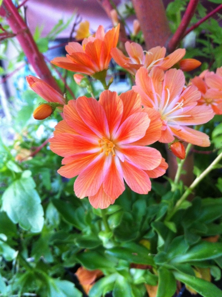 Lewisia 'Sunset Group'
