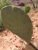 Smooth Prickly Pear Cactus