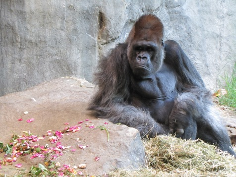 Gorilla considers the rose that was