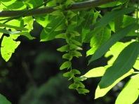 Pterocarya Chinese Wingnut