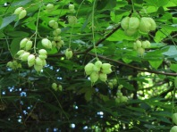 Bladder Nut Tree