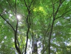 Sun Through Maples