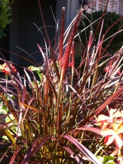 Purple Fountain Grass