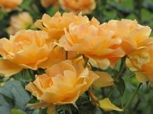 Easy Going Floribunda Rose