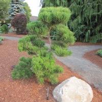 Surprising Pines