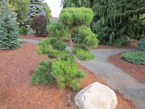 Hakuho Pine