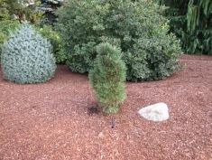 Mugo Pine Columnaris