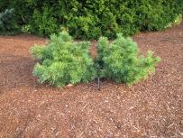 Ground Hugger White Pine