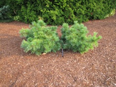 Ground Hugger White Pine