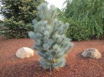 Macedonian Pine