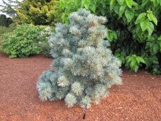 Blauer Engel Pine