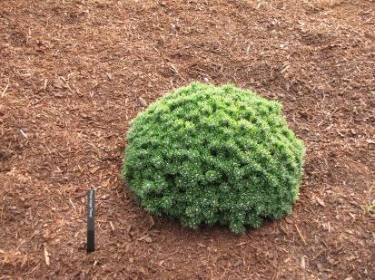 Teeny Mugo Pine