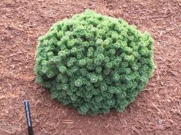 Sherwood Compact Pine