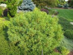 Mini Twists White Pine