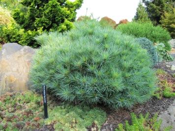 Sea Urchin White Pine