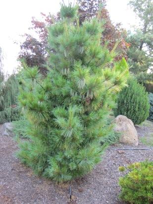 Wiethorst Pine