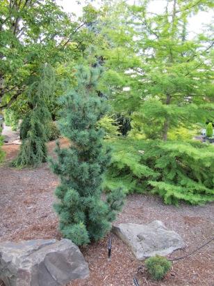 Diggy White Pine