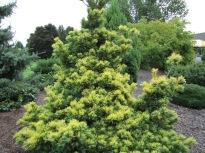 Goldilocks Pine