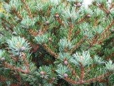 Hagoromo Pine