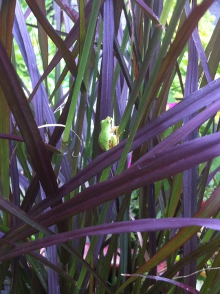 Frogs like plants