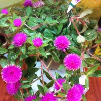 Pink Zazzle
