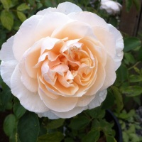 Lichfield Angel Rose
