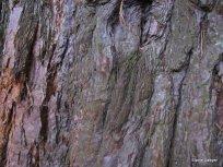 Thick, reddish bark