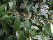 Sweet sarcococca