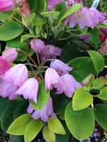 Orbiculare Rhododendron