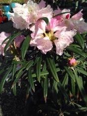 Makinoi Rhododendron