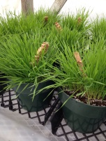 Introducing aphids to the wheat grass