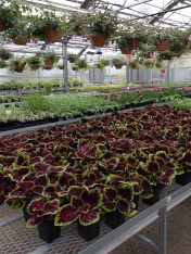 Wheat grass banker plants in greenhouse