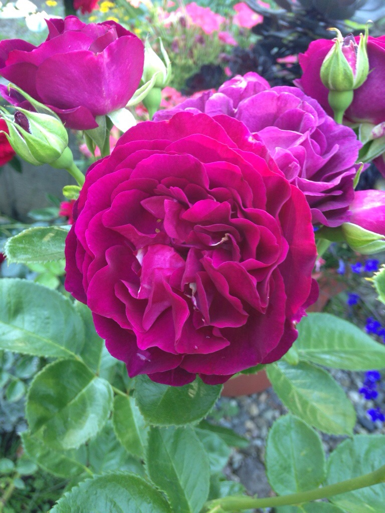 Twilight Zone Rose