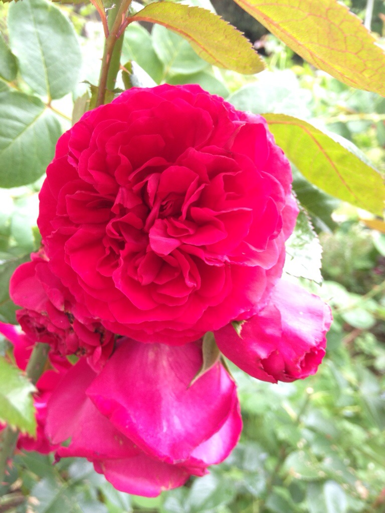 Tess of the D'Urbervilles Rose