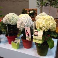 New Variety---Avantgarde Hydrangea