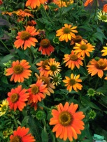Sombrero Adobe Orange Coneflower