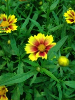 Li'l Bang Enchanted Eve Coreopsis